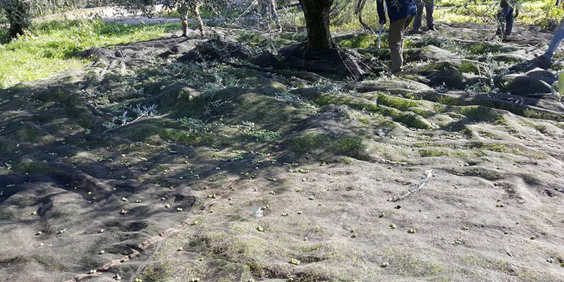 La raccolta delle olive in Puglia